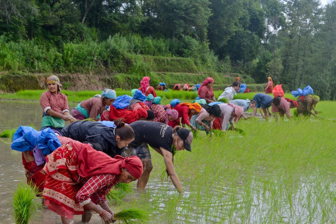 Voluntarios en Nepal plantando arroz con habitantes locales.